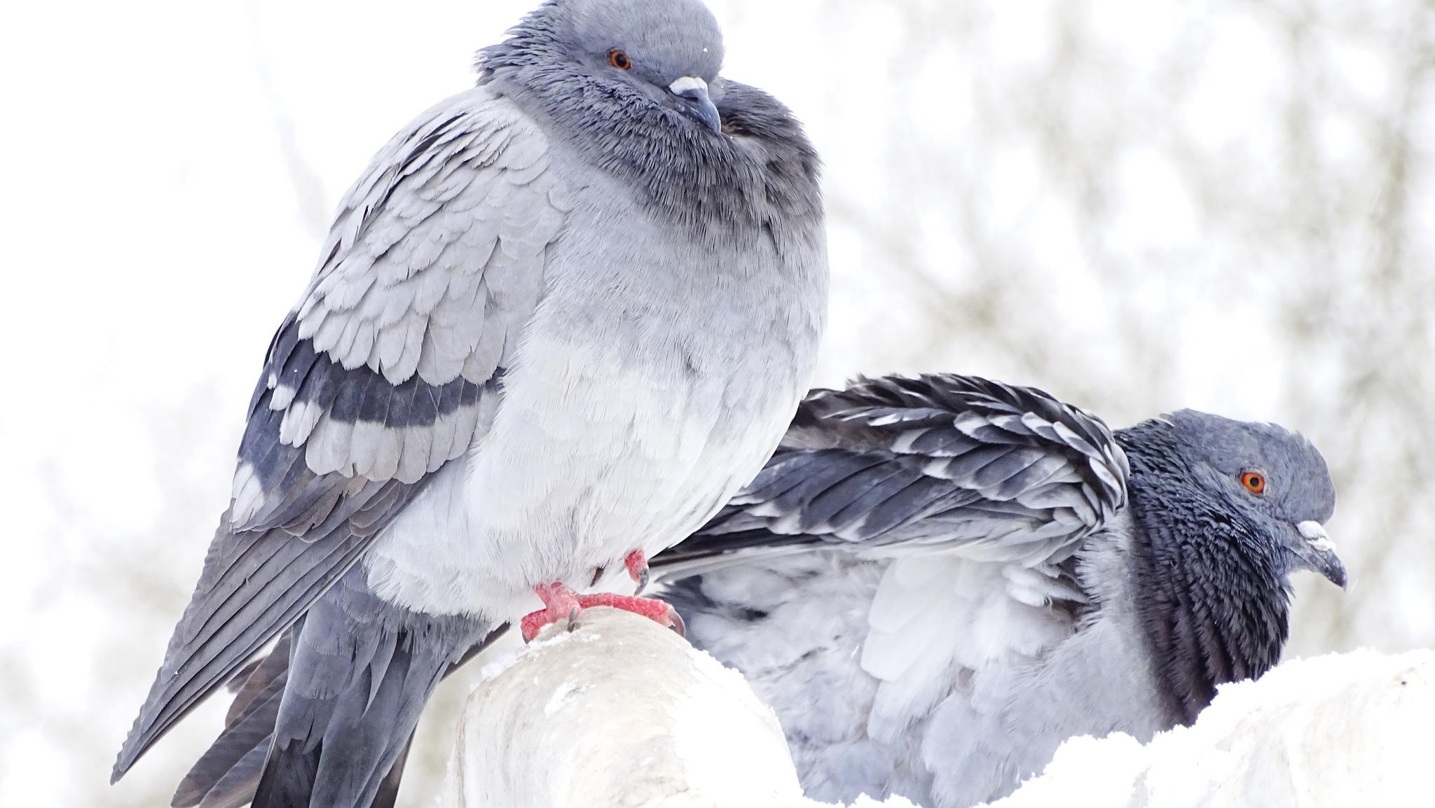 files/images/2017-12-15-pigeon.jpg