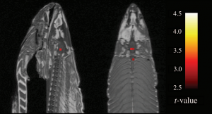 files/images/dead-salmon-fmri1-300x162.png